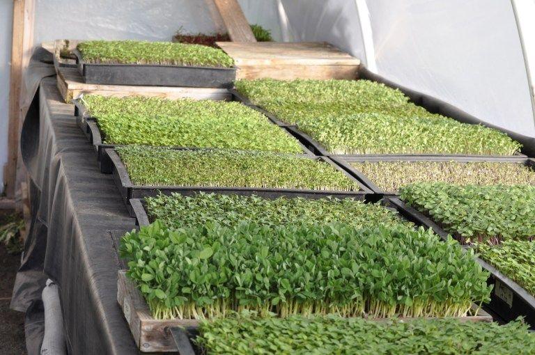 Growing Microgreens for Profit EcoFarming Daily