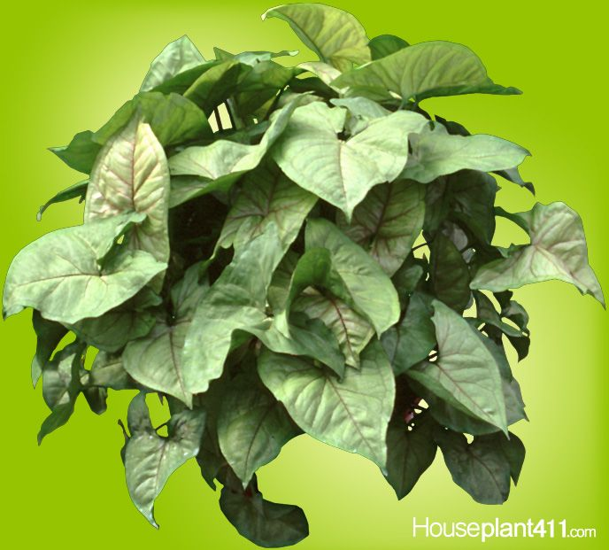 "Flowering House Plants Identification arrowhead #houseplants are identifiedtheir ""arrow shaped"