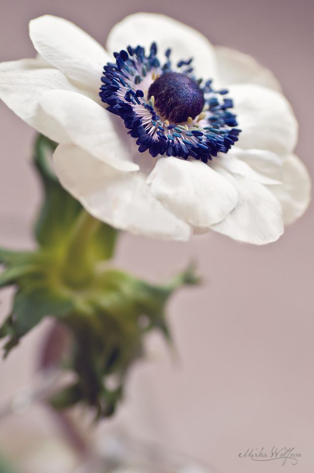 Anemone By Mirka Wolfova 500px Amazing Flowers Anemone Flower Flowers Photography