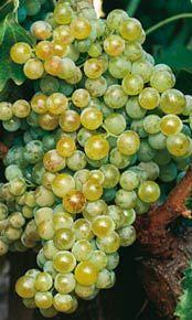 Uva Viura.: Variedad muy arómatica y fresca, es también originaria de La Rioja y en ocasiones llamada Macabeo. Los racimos son alargados y con tamaño medio. Granos redondos de color amarillo, muy dulces, hollejo fino y con dos o tres pepitas de color rojo claro. Produce un mosto abundante, agridulce, alcohólico, y ácido cuando la maduración no es completa. Muy buena para producir vinos blancos, son vinos de moderado contenido de alcohol, suaves, equilibrados y con aroma, frescos y ácidos…