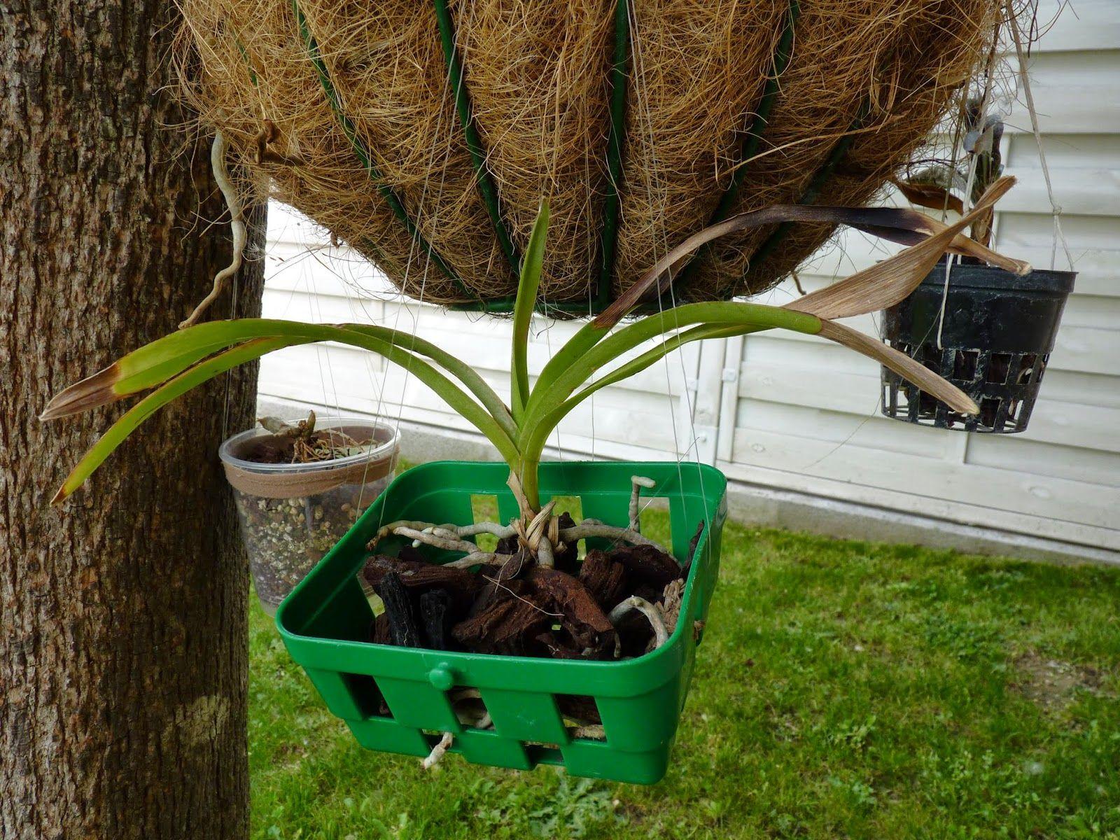 Ange Orchidées: Vanda