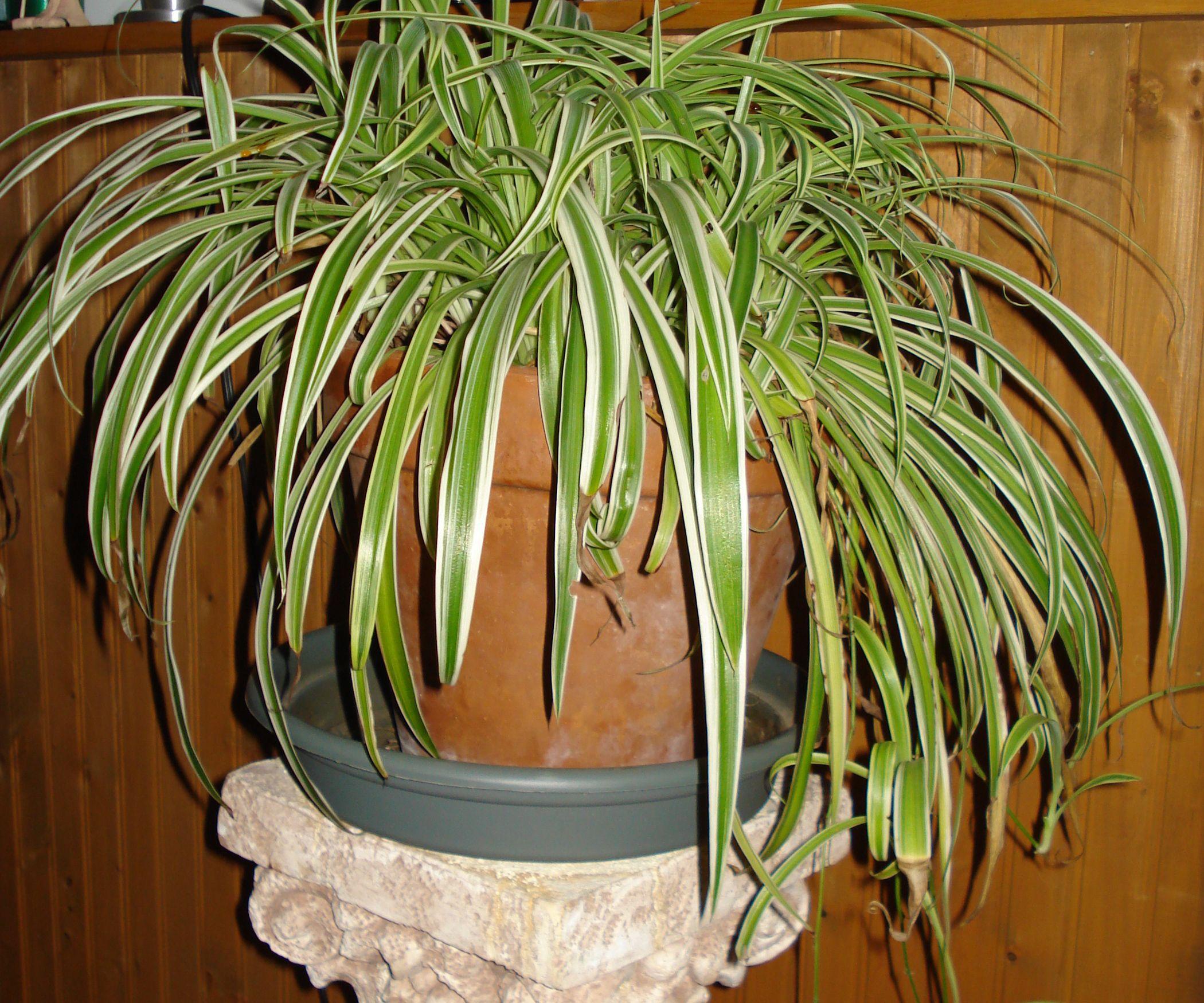 Spider plants need a stand. Plants, Indoor garden