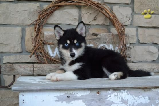 Carrie Pomsky Puppy for Sale in Fredricksburg, OH