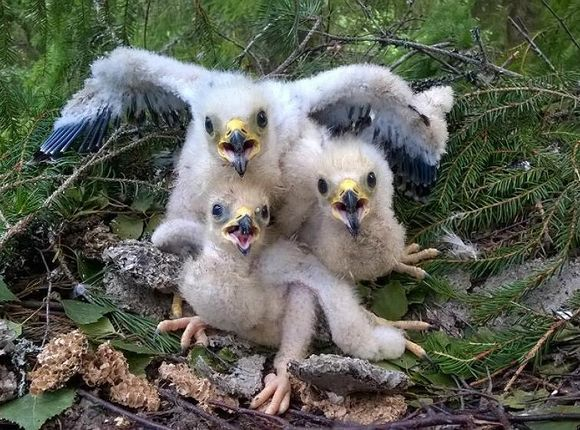 Rare photo in Finland: an endangered honey buzzard triplets. Photo by Risto Sulkava / yle.fi