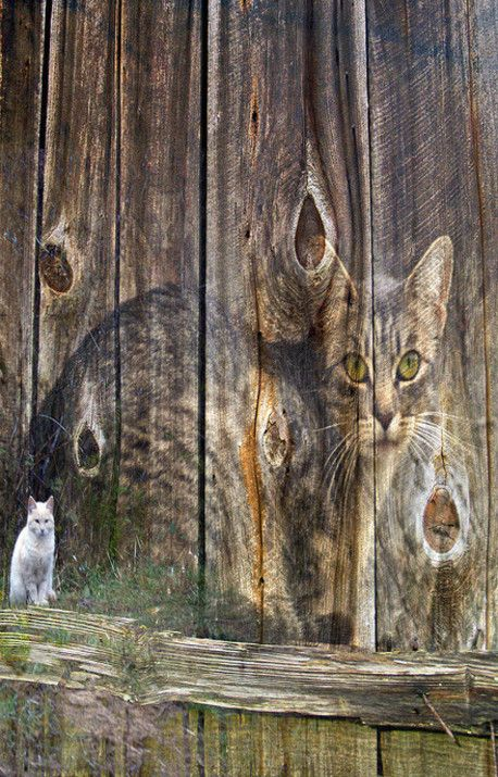 Love This!..Cat Imaged Onto Side Of Old Barn Boards
