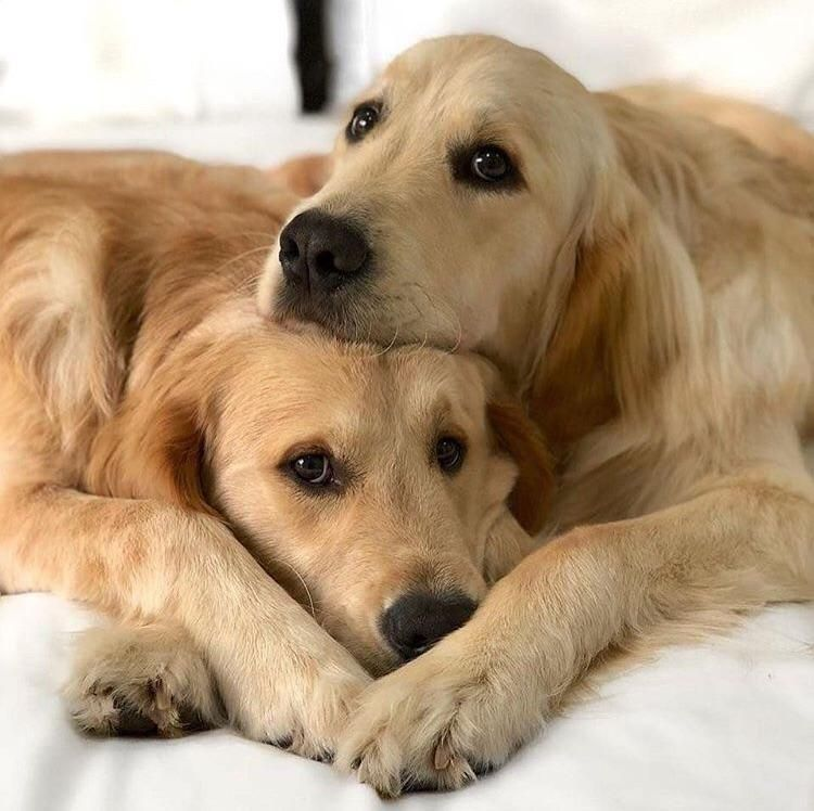 Lazy Weekends Dogs Dogs Golden Retriever Beautiful Dogs
