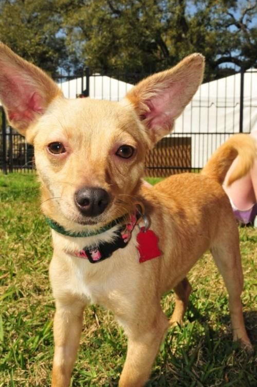 Adopt Crackle On Adoptable Chihuahuas Dogs Adoption