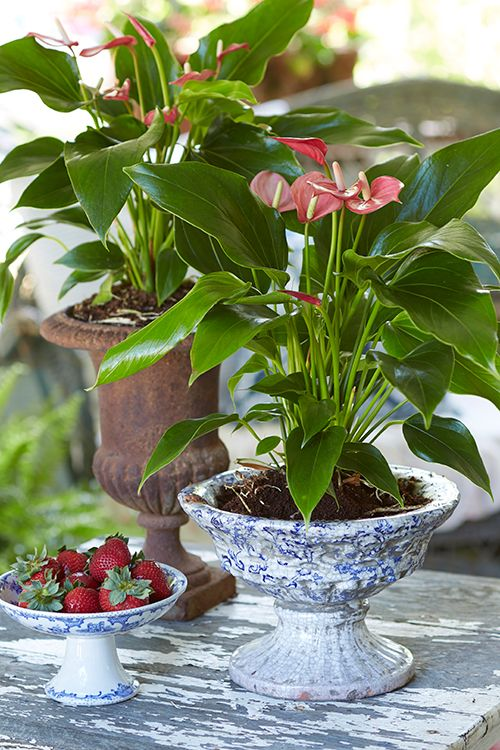 Porchscaping French Country Anthurium Anthurium Plant Plants