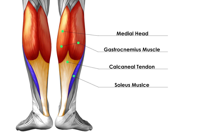 gastrocnemius muscle - HD1500×1000