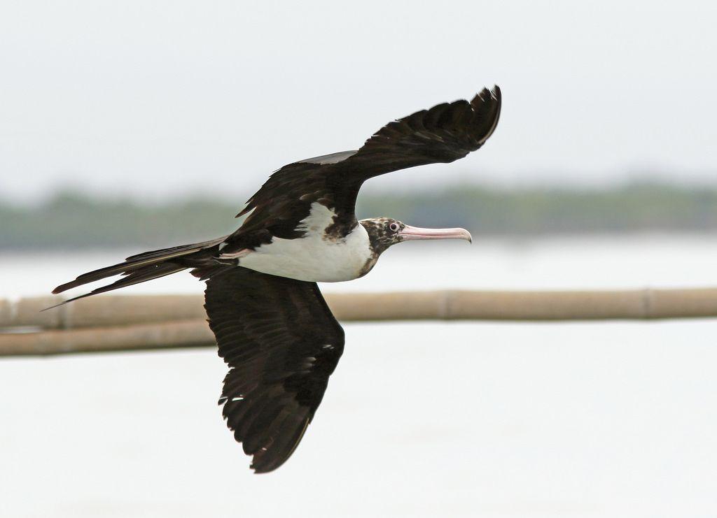 Christmas Island Frigatebird - Jakarta Bay, Java, Indonesia | Frigatebird, Sea birds, Indonesia