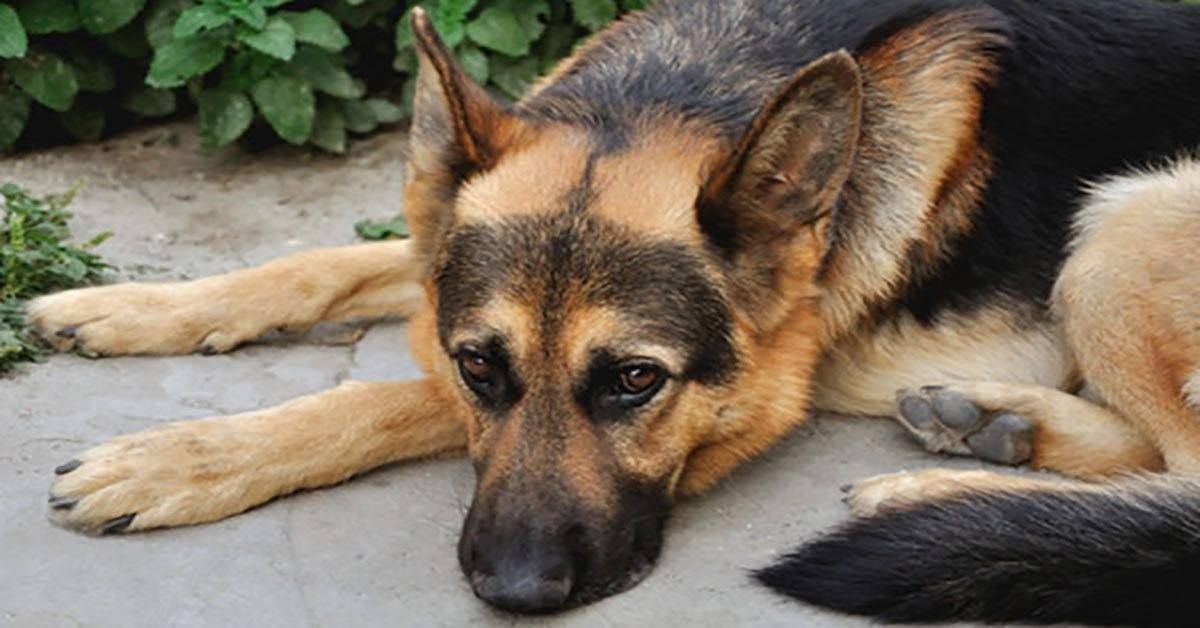 Blog German Shepherd Shop German Shepherd Owner Emergency Vet