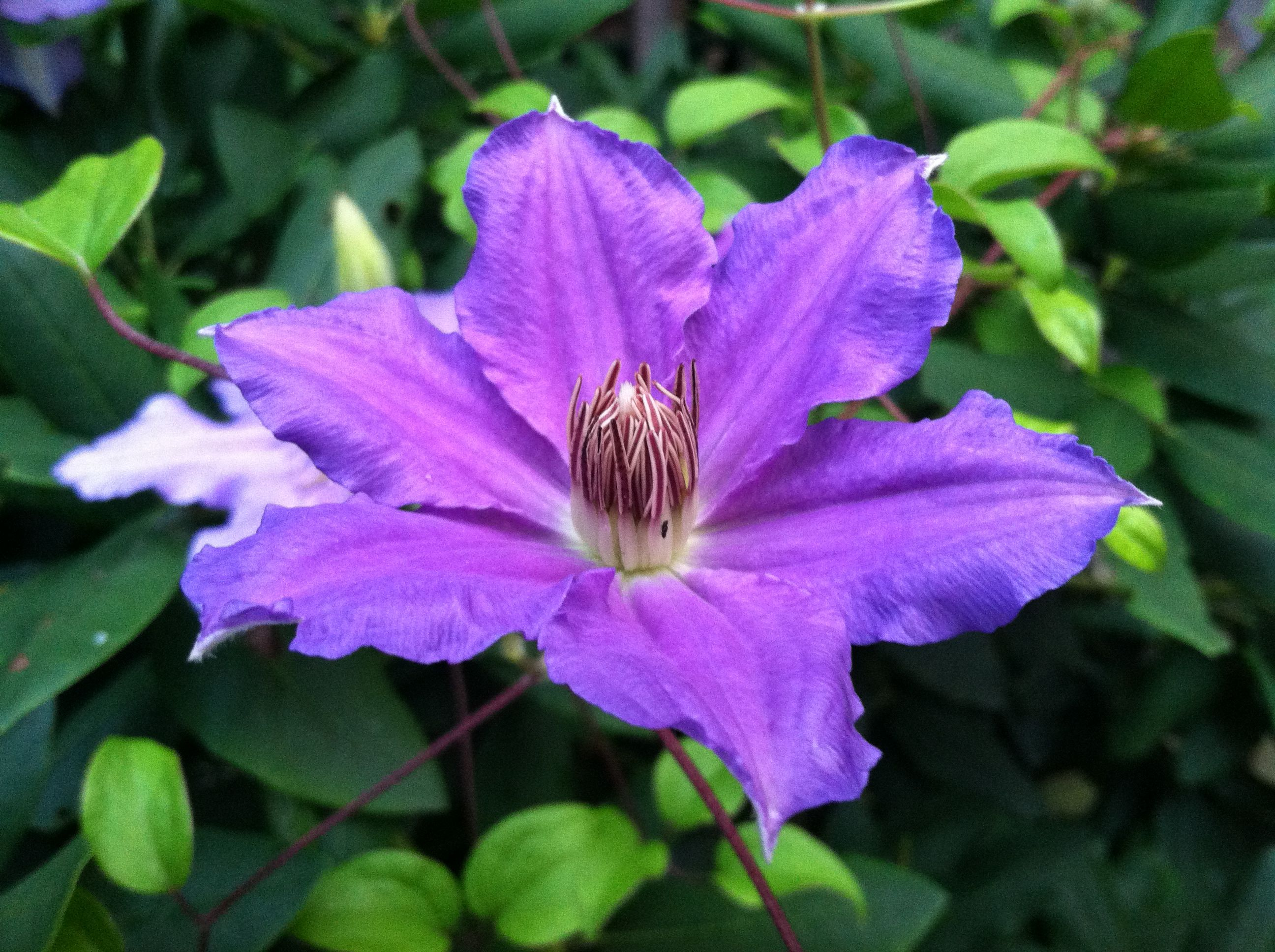 Purple Clematis at Sid's