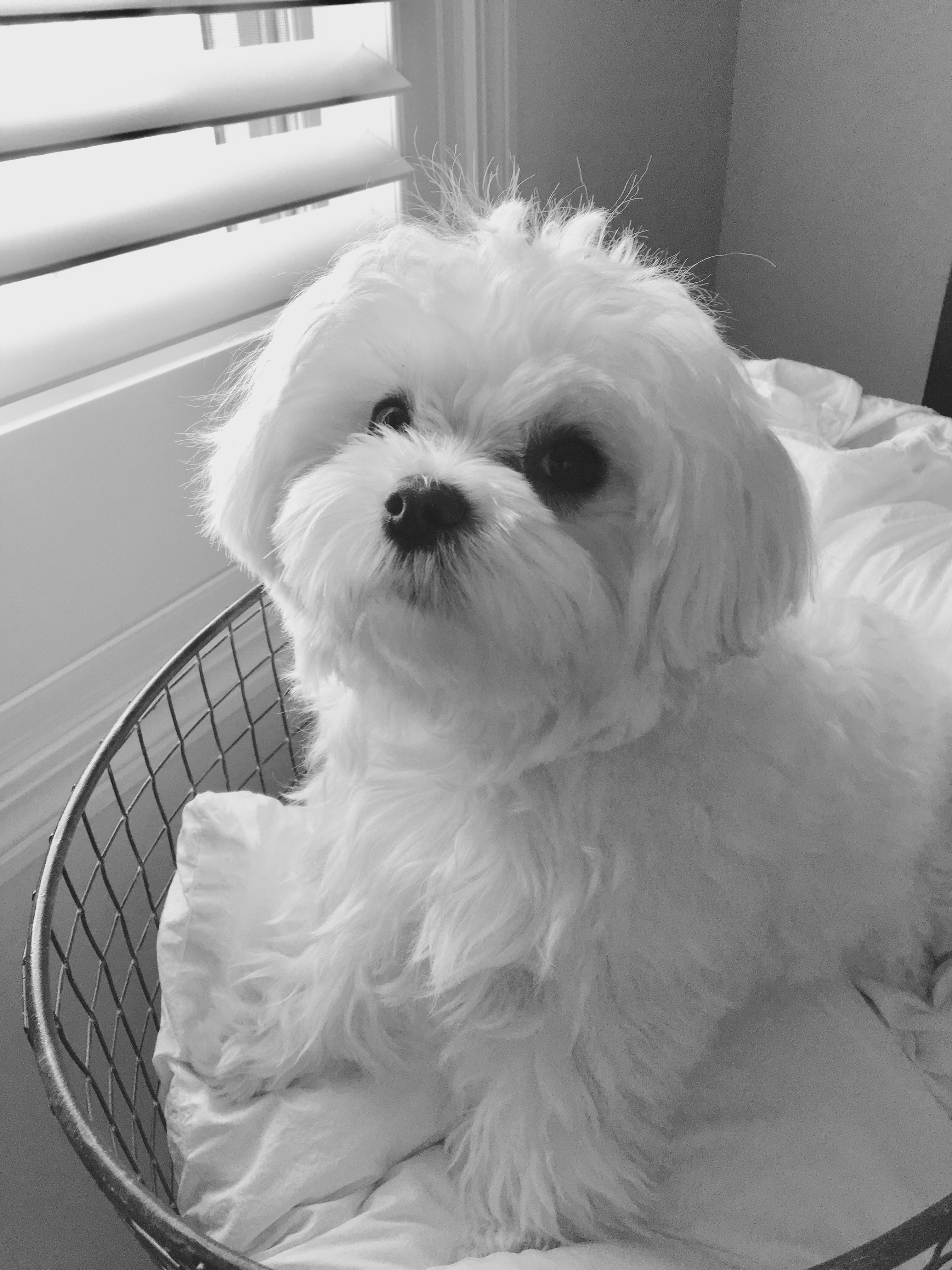Pin By Heather T On Maltese Maltese Dogs Cute Puppies Dogs
