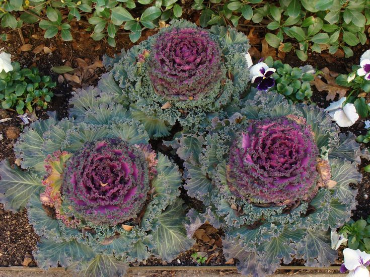 cabbage plant flower care