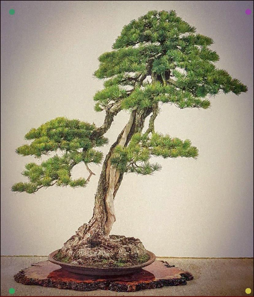 Pinus P Himekomatsu Kokufu 1990 Hoy Mircoles Abierto De 17 A 21h Bonsaikido Tu Tienda Y Escuela De Bonsai En Ma In 2020 Bonsai Art Juniper Bonsai Bonsai Tree