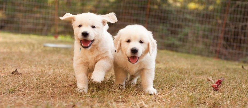 White Golden Retriever Puppies New England 2021