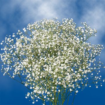 30 Stems Baby's Breath