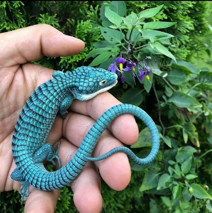 Abronia Alligator Lizard Cute reptiles, Reptiles pet