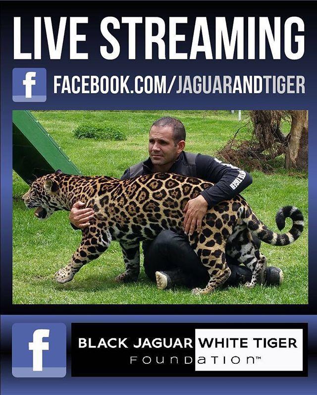 Special broadcast in 10 minutes through Facebook Live... Transmisión especial en 10 minutos por Facebook Live... #BlackJaguarWhiteTiger