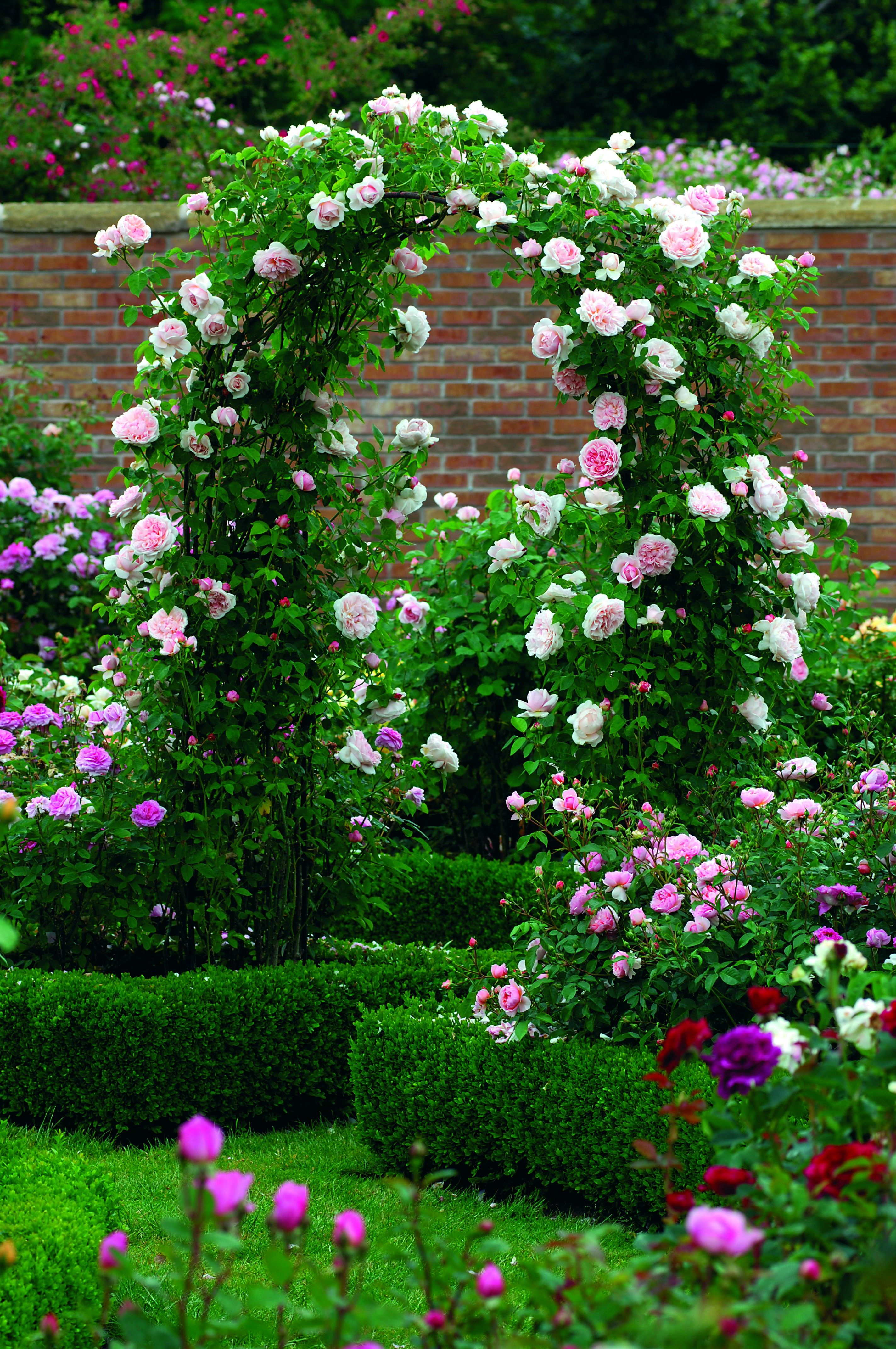 St Swithun - The Fragrant Rose Company | Garden arches ...