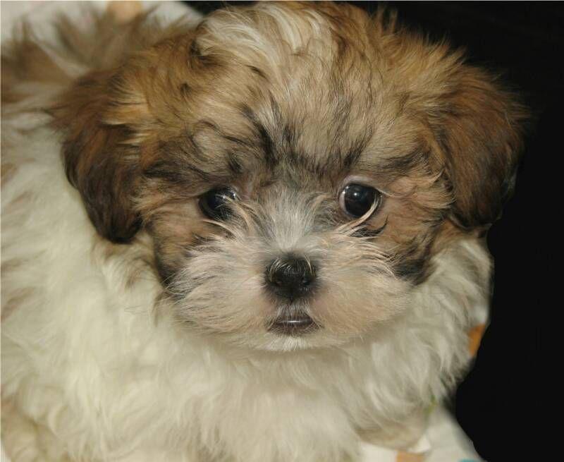 teddy bear Dog breeds, Shorkie puppies, Dog stories