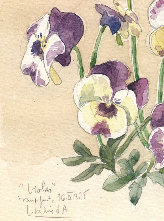 Viola pansies flowers Watercolor & pencil drawing by CATILUSTRE