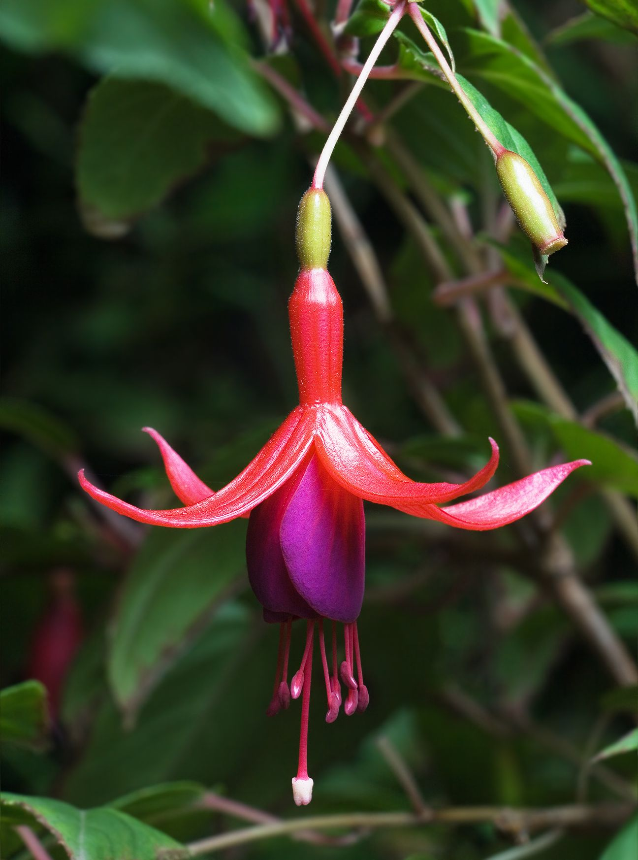 Fuchsia Magellanica Edible Berries Pick When Soft Fuchsia Flower Hummingbird Plants Flower Anatomy