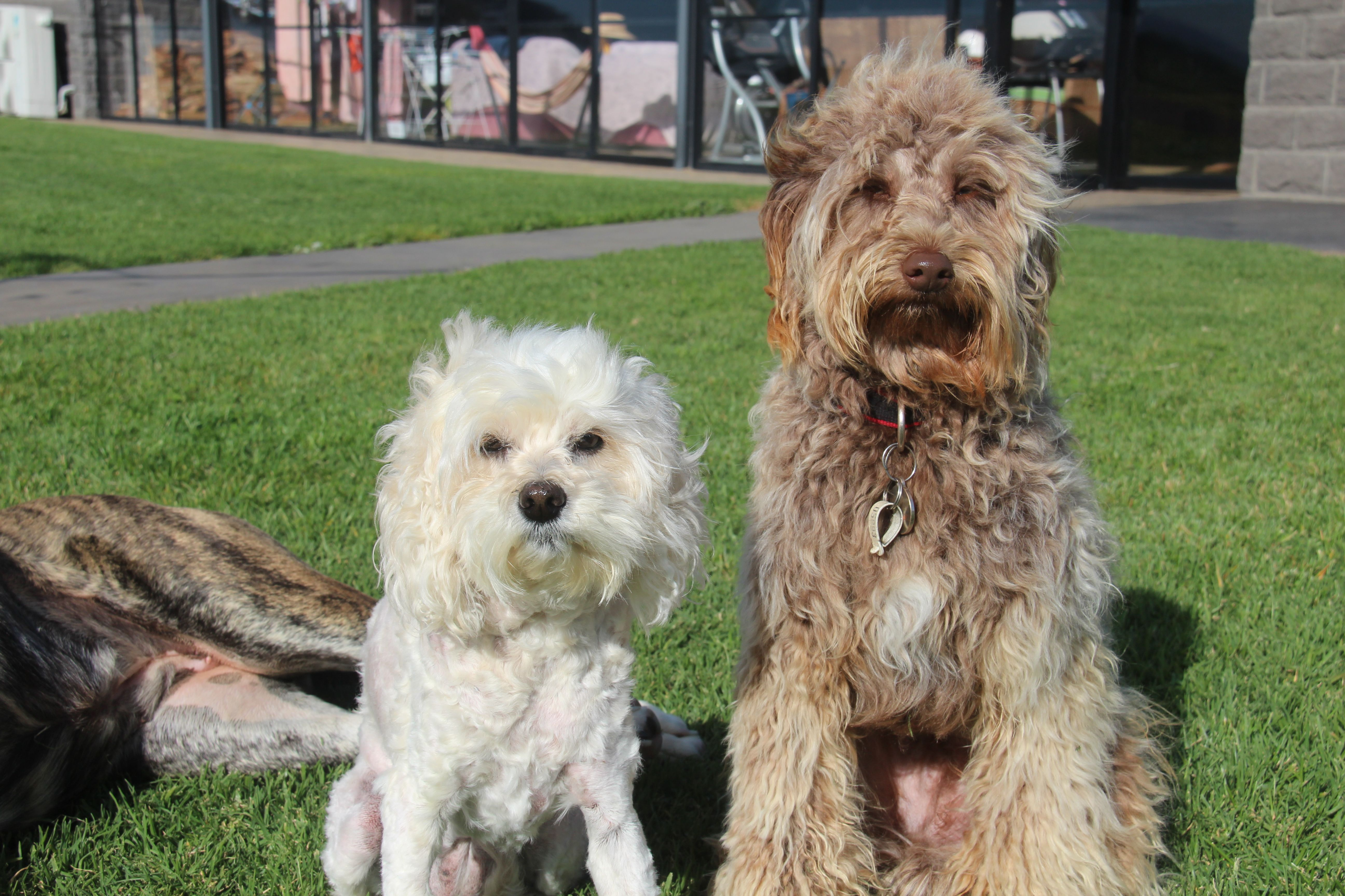 Maisy & Harvey cavoodle bordoodle (With images