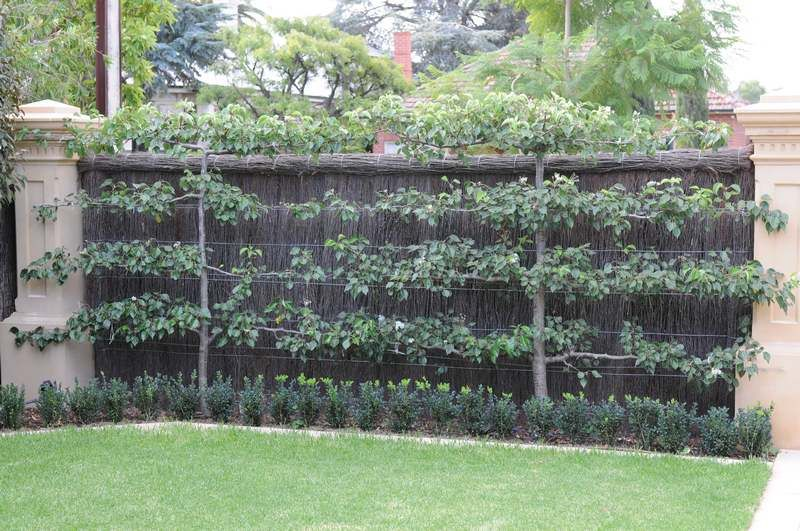espalier fruit tree -love the boxwood hedge in front as ...