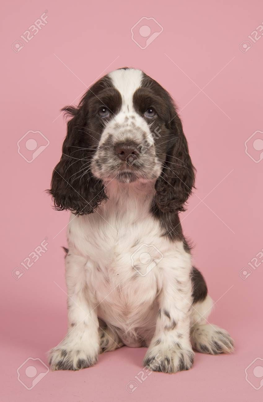Image Result For Cocker Spaniel Brown And White Cocker Spaniel Spaniel English Cocker