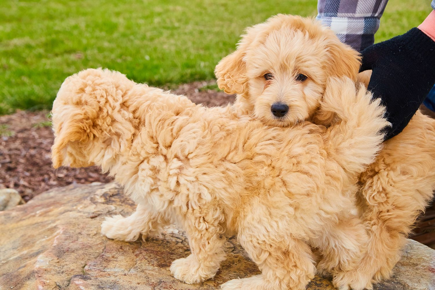 We Are Some Adorable And Very Cuddly F1 Mini Goldendoodle Puppies Could You See Having One Or More Of Us Mini Goldendoodle Puppies Goldendoodle Puppy Puppies