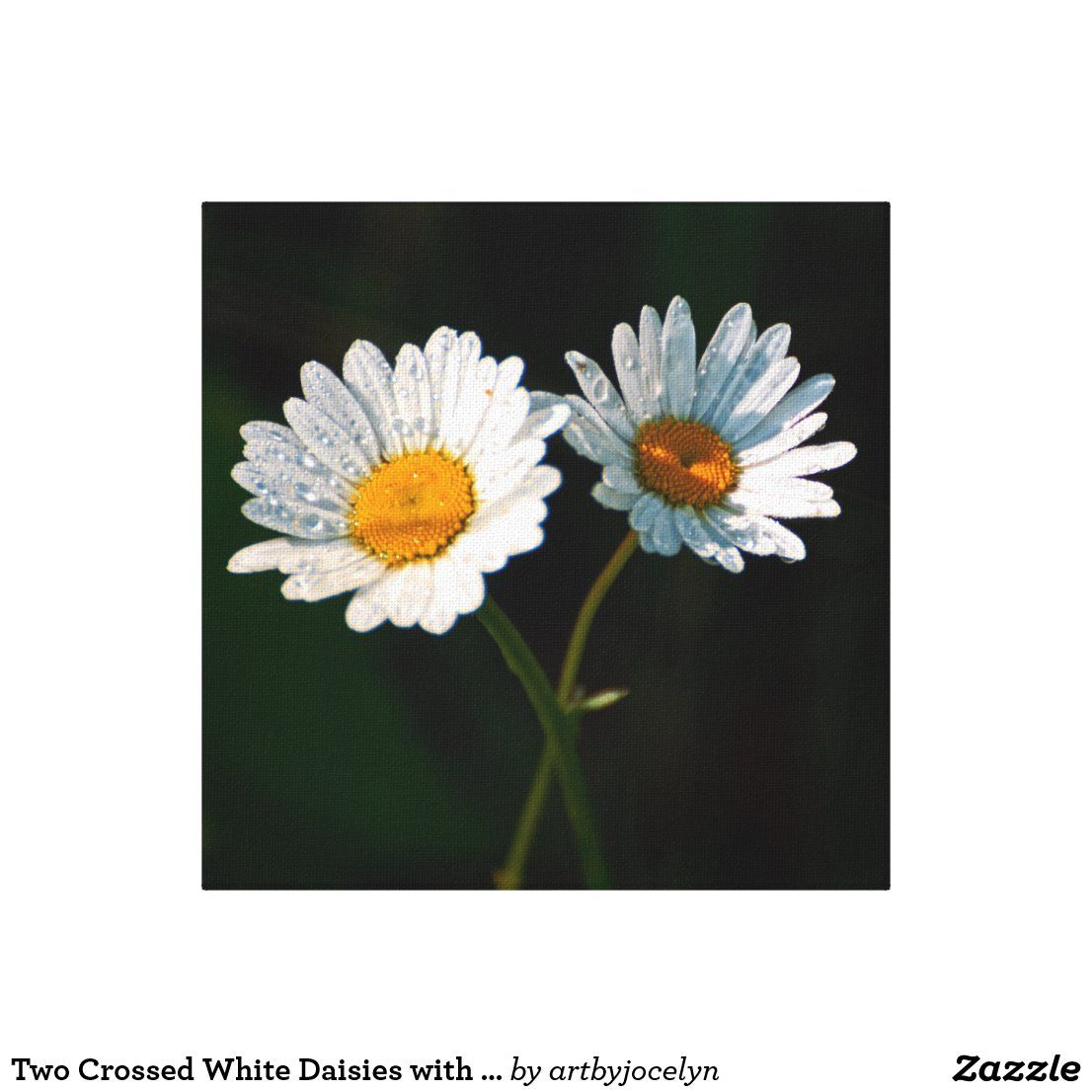 Two White Daisy Flowers and Water Droplets Canvas Print