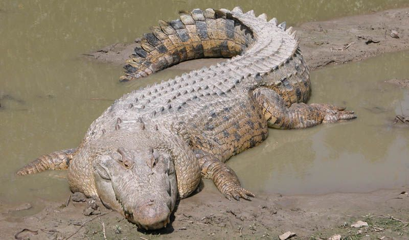 The Largest Reptile in the World - The Saltwater Crocodile