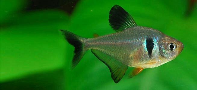 Black Phantom Tetra Tropical Fish Aquarium Freshwater Aquarium Fish Tropical Fish