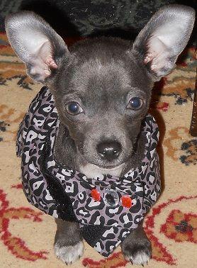 Blue Chihuahua In Leopard Print Too Cute Cute Animals Blue