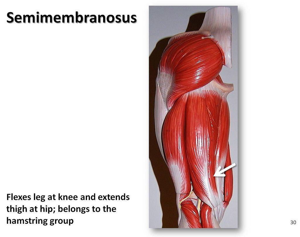 semimembranosus muscle | Semimembranosus - Muscles of the Lower ...