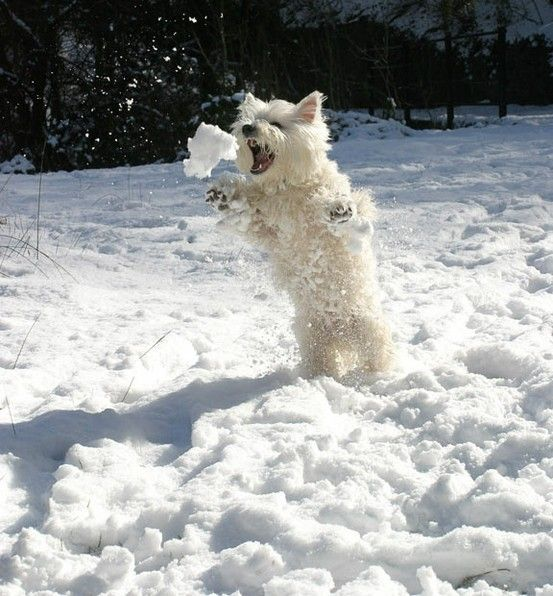 Snowball Fight #snow #dog #RogersWinterWhites