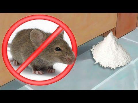 Como Acabar Con Las Ratas En El Jardin Como Eliminar Ratas Y Ratones De La Casa Para Siempre De Forma