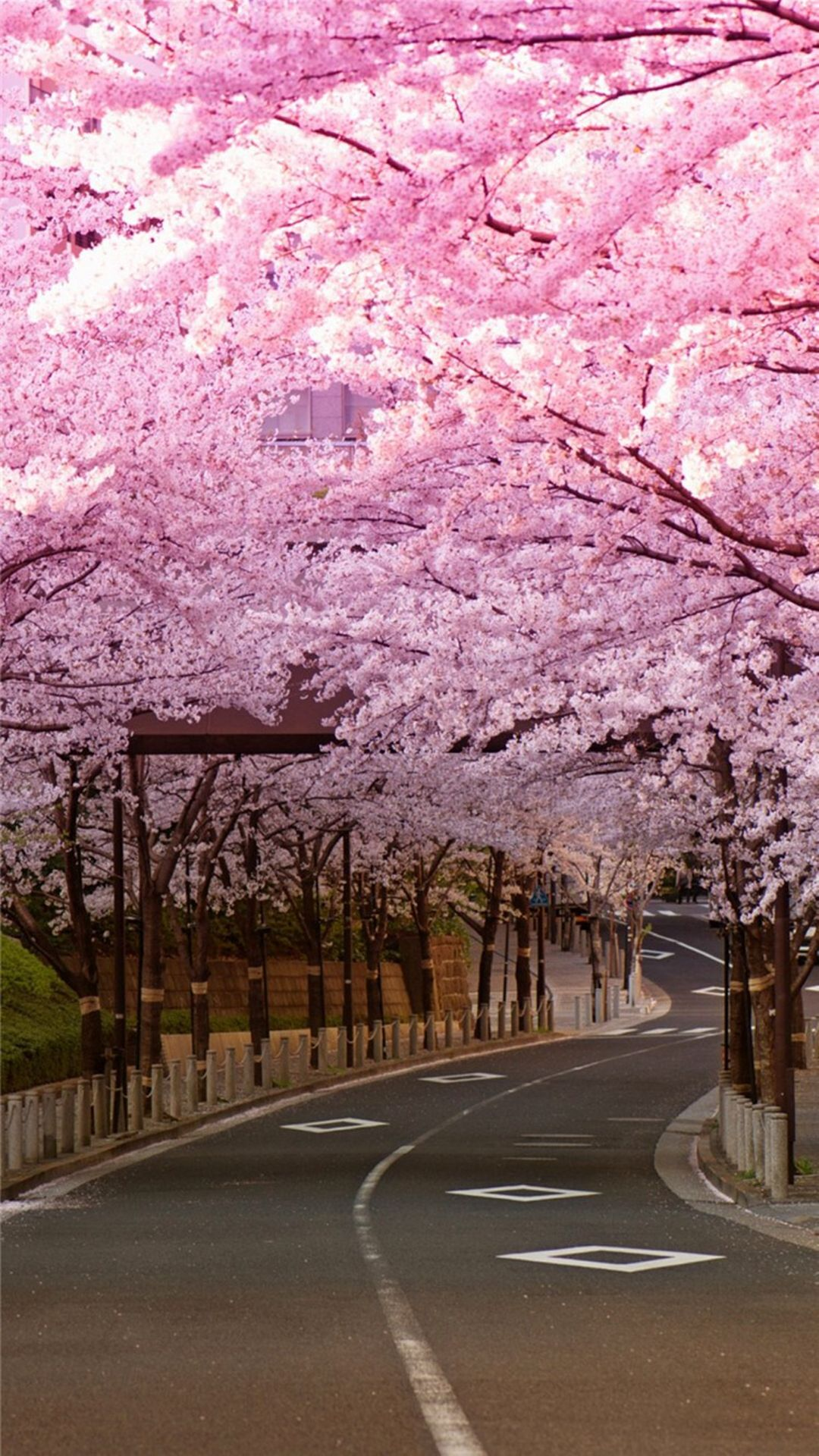 Bright Cherry Blossom Road iPhone 8 Wallpapers Cherry