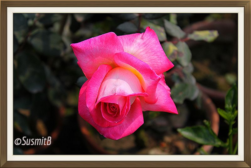 The beauty of Rose......