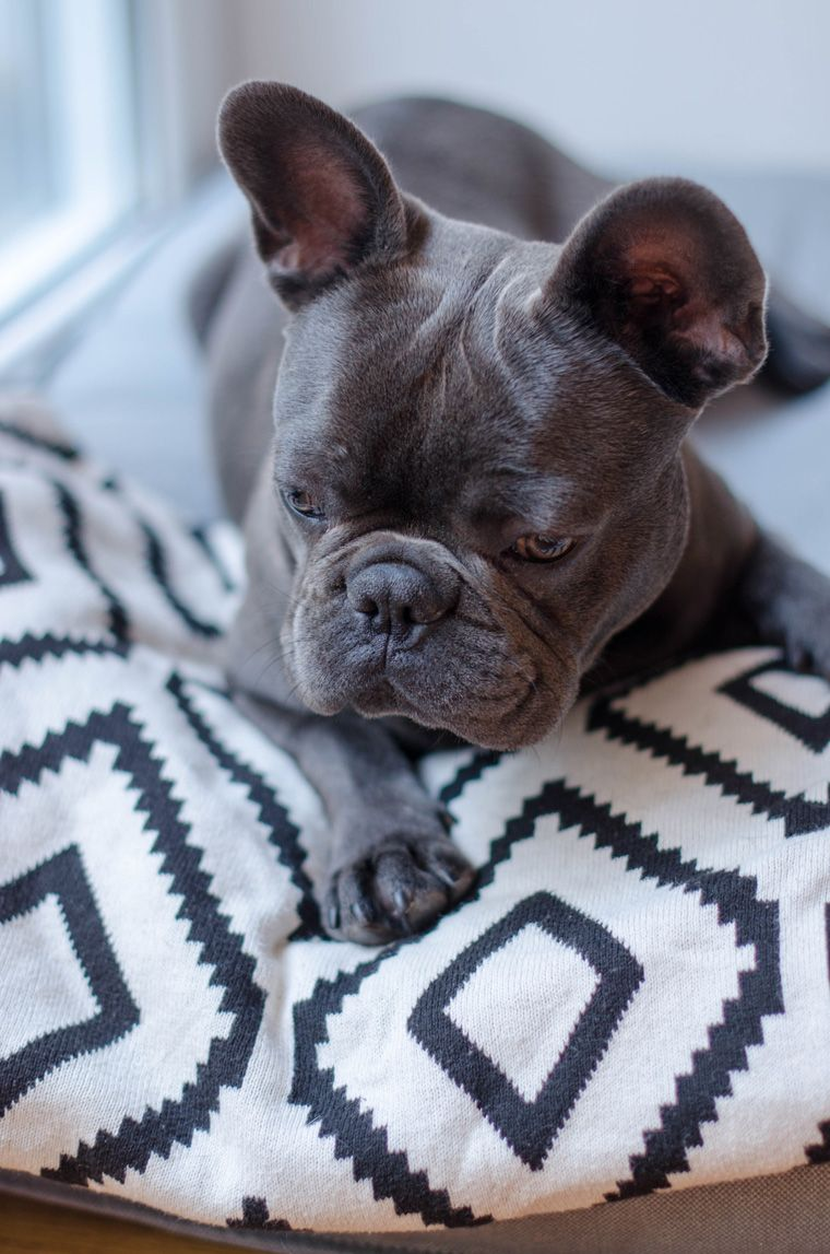 Die Franzosische Bulldogge Namens Teddy La Petite Olga