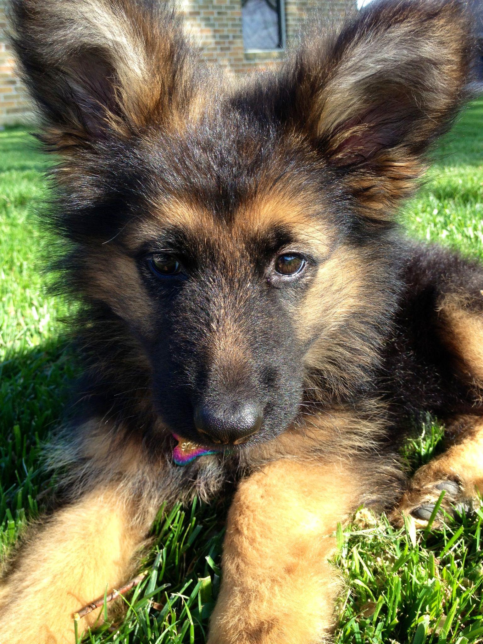 Meet Friday. Long Haired German Shepherd puppy. German