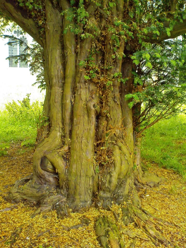 Yew Tree Photo:  This Photo was uploaded by vatoengland. Find other Yew Tree pictures and photos or upload your own with Photobucket free image and video...