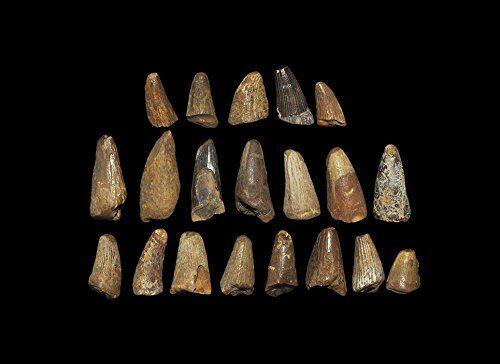 Natural History Fossil Mosasaur Marine Dinosaur Tooth Group