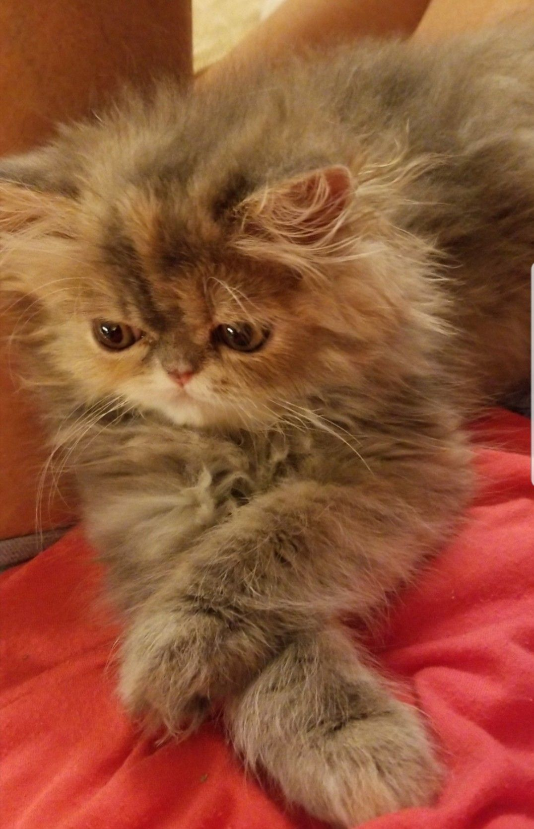 Blue And Cream Tortoiseshell Persian Kitten Such A Little Lady