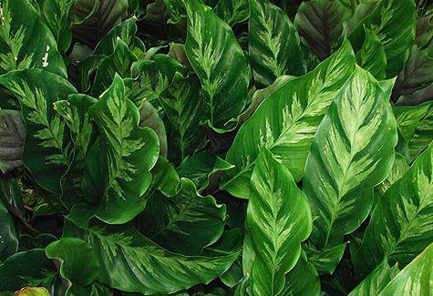 Full Plant List | Calathea plant, Calathea, Rainforest plants