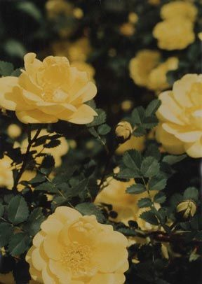 Harrison S Yellow Yellow Roses Shrub Roses Rose