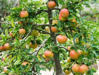 Dwarf Fiesta Apple Tree Produce Sweet Fall Fruits Dwarf Fruit Trees Container Gardening Plants