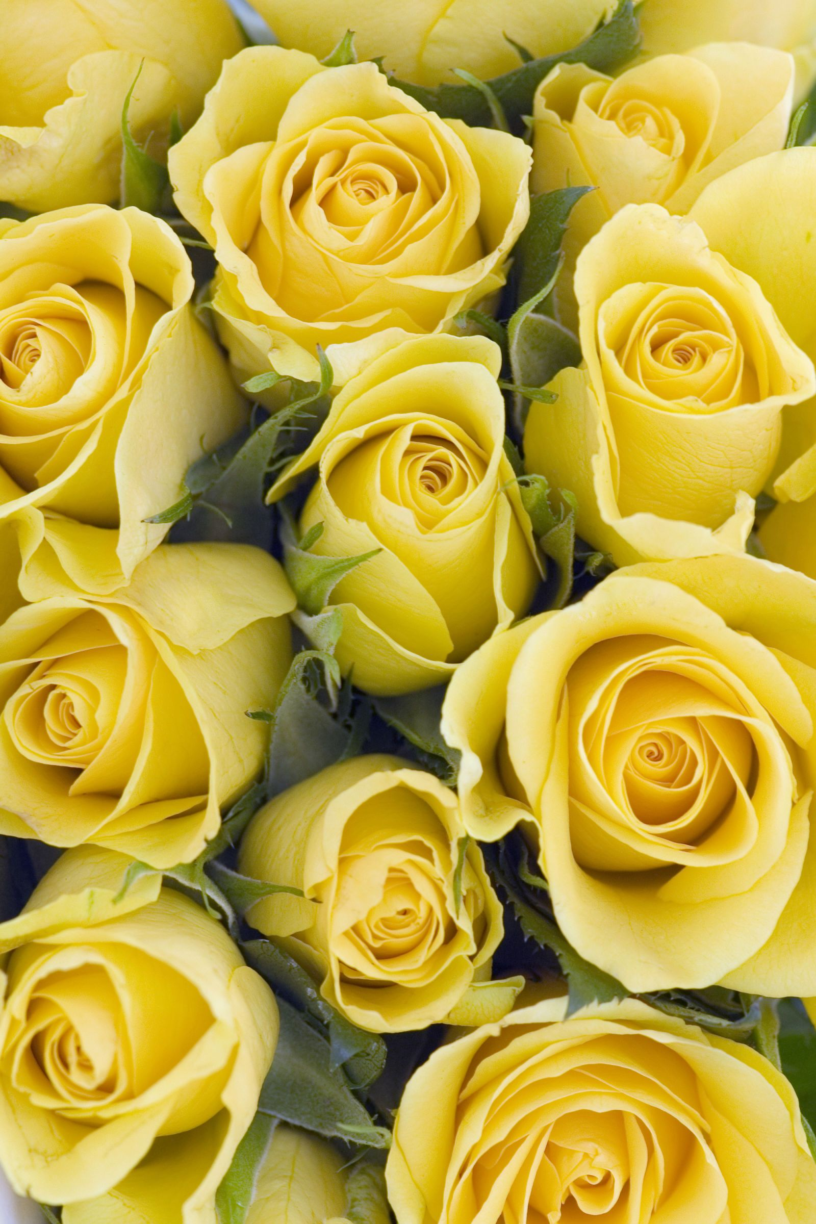 The meaning of every rose color yellow roses flowers and plants the meaning of every rose color floral bouquetsyellow rosesflower mightylinksfo