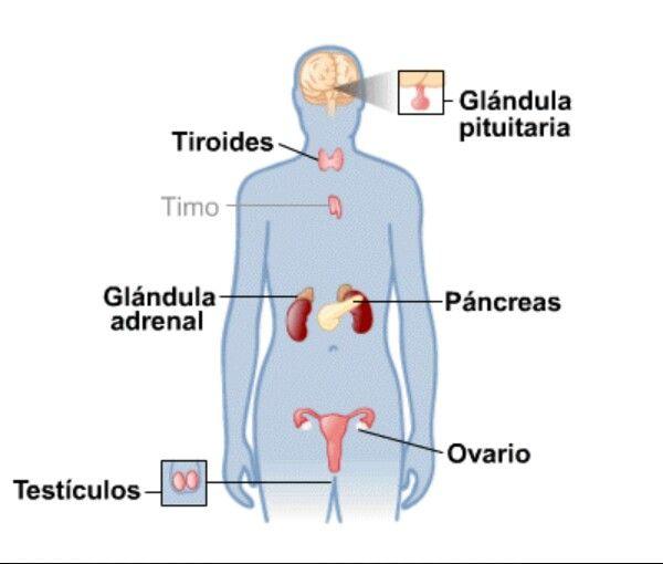 Sistema Endocrino Femenino Sistema Endocrino Articulaciones Del Cuerpo Humano Timo Glandula
